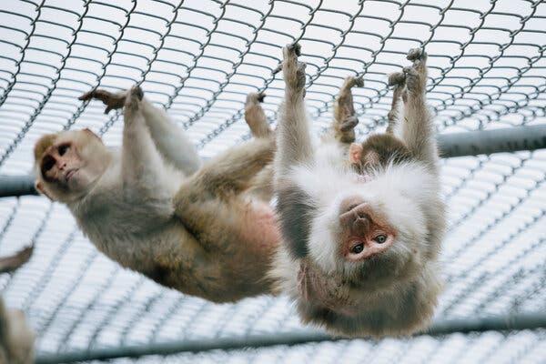 Les macaques rhésus sont les principales espèces de singes qui sont élevées au Centre national de recherche sur les primates de l'Université Tulane à Covington, en Louisiane.
